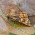 Varnalėšinis pelėdgalvis - Gortyna flavago | Fotografijos autorius : Gintautas Steiblys | © Macrogamta.lt | Šis tinklapis priklauso bendruomenei kuri domisi makro fotografija ir fotografuoja gyvąjį makro pasaulį.