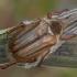 Vasarinis grambuolys - Amphimallon solstitiale | Fotografijos autorius : Žilvinas Pūtys | © Macrogamta.lt | Šis tinklapis priklauso bendruomenei kuri domisi makro fotografija ir fotografuoja gyvąjį makro pasaulį.