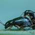 Vilkdalginė spragtukė - Aphthona nonstriata   Fotografijos autorius : Žilvinas Pūtys   © Macrogamta.lt   Šis tinklapis priklauso bendruomenei kuri domisi makro fotografija ir fotografuoja gyvąjį makro pasaulį.