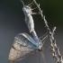 Viržiasprindis - Perconia strigillaria | Fotografijos autorius : Zita Gasiūnaitė | © Macrogamta.lt | Šis tinklapis priklauso bendruomenei kuri domisi makro fotografija ir fotografuoja gyvąjį makro pasaulį.