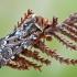 Viržinis dirvinukas - Lycophotia porphyrea | Fotografijos autorius : Gintautas Steiblys | © Macrogamta.lt | Šis tinklapis priklauso bendruomenei kuri domisi makro fotografija ir fotografuoja gyvąjį makro pasaulį.