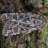 Viržinis dirvinukas - Lycophotia porphyrea | Fotografijos autorius : Žilvinas Pūtys | © Macrogamta.lt | Šis tinklapis priklauso bendruomenei kuri domisi makro fotografija ir fotografuoja gyvąjį makro pasaulį.