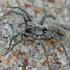 Pleištavoris - Alopecosa sp.    Fotografijos autorius : Gintautas Steiblys   © Macrogamta.lt   Šis tinklapis priklauso bendruomenei kuri domisi makro fotografija ir fotografuoja gyvąjį makro pasaulį.