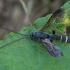 Vytis - Metopius scrobiculatus ♂ | Fotografijos autorius : Žilvinas Pūtys | © Macrogamta.lt | Šis tinklapis priklauso bendruomenei kuri domisi makro fotografija ir fotografuoja gyvąjį makro pasaulį.