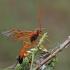Vytis - Opheltes glaucopterus | Fotografijos autorius : Gintautas Steiblys | © Macrogamta.lt | Šis tinklapis priklauso bendruomenei kuri domisi makro fotografija ir fotografuoja gyvąjį makro pasaulį.