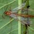 Vytis - Ophion obscuratus ♀ | Fotografijos autorius : Žilvinas Pūtys | © Macrogamta.lt | Šis tinklapis priklauso bendruomenei kuri domisi makro fotografija ir fotografuoja gyvąjį makro pasaulį.