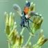 Dygliamusė - Cylindromyia brassicaria | Fotografijos autorius : Vidas Brazauskas | © Macrogamta.lt | Šis tinklapis priklauso bendruomenei kuri domisi makro fotografija ir fotografuoja gyvąjį makro pasaulį.