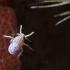 Cikadų -  Delphacidae nimfos | Fotografijos autorius : Agnė Našlėnienė | © Macrogamta.lt | Šis tinklapis priklauso bendruomenei kuri domisi makro fotografija ir fotografuoja gyvąjį makro pasaulį.