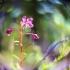 Siauralapis gaurometis - Chamerion angustifolium | Fotografijos autorius : Vidas Brazauskas | © Macrogamta.lt | Šis tinklapis priklauso bendruomenei kuri domisi makro fotografija ir fotografuoja gyvąjį makro pasaulį.