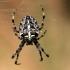 Paprastasis kryžiuotis - Araneus diadematus | Fotografijos autorius : Ramunė Vakarė | © Macrogamta.lt | Šis tinklapis priklauso bendruomenei kuri domisi makro fotografija ir fotografuoja gyvąjį makro pasaulį.