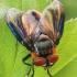 Dygliamusė - Phasia hemiptera | Fotografijos autorius : Gintautas Steiblys | © Macrogamta.lt | Šis tinklapis priklauso bendruomenei kuri domisi makro fotografija ir fotografuoja gyvąjį makro pasaulį.