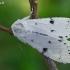 Baltasis strėlinukas - Acronicta leporina | Fotografijos autorius : Gintautas Steiblys | © Macrogamta.lt | Šis tinklapis priklauso bendruomenei kuri domisi makro fotografija ir fotografuoja gyvąjį makro pasaulį.
