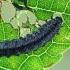 Mėlynasis alksniagraužis - Agelastica alni, lerva   Fotografijos autorius : Gintautas Steiblys   © Macrogamta.lt   Šis tinklapis priklauso bendruomenei kuri domisi makro fotografija ir fotografuoja gyvąjį makro pasaulį.
