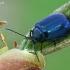 Mėlynasis alksniagraužis - Agelastica alni   Fotografijos autorius : Gintautas Steiblys   © Macrogamta.lt   Šis tinklapis priklauso bendruomenei kuri domisi makro fotografija ir fotografuoja gyvąjį makro pasaulį.
