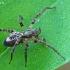 Miškinis gležnavoris - Anyphaena accentuata | Fotografijos autorius : Gintautas Steiblys | © Macrogamta.lt | Šis tinklapis priklauso bendruomenei kuri domisi makro fotografija ir fotografuoja gyvąjį makro pasaulį.