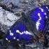 Kilnioji vaiva - Apatura iris | Fotografijos autorius : Gintautas Steiblys | © Macrogamta.lt | Šis tinklapis priklauso bendruomenei kuri domisi makro fotografija ir fotografuoja gyvąjį makro pasaulį.