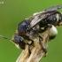 Bitė - Macropis europaea | Fotografijos autorius : Gintautas Steiblys | © Macrogamta.lt | Šis tinklapis priklauso bendruomenei kuri domisi makro fotografija ir fotografuoja gyvąjį makro pasaulį.