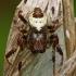 Marmurinis kryžiuotis - Araneus marmoreus f. pyramidatus | Fotografijos autorius : Gintautas Steiblys | © Macrogamta.lt | Šis tinklapis priklauso bendruomenei kuri domisi makro fotografija ir fotografuoja gyvąjį makro pasaulį.