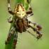 Keturdėmis kryžiuotis - Araneus quadratus, patinas | Fotografijos autorius : Gintautas Steiblys | © Macrogamta.lt | Šis tinklapis priklauso bendruomenei kuri domisi makro fotografija ir fotografuoja gyvąjį makro pasaulį.