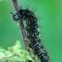 Mažasis dilgėlinukas - Araschnia levana, vikšras  | Fotografijos autorius : Gintautas Steiblys | © Macrogamta.lt | Šis tinklapis priklauso bendruomenei kuri domisi makro fotografija ir fotografuoja gyvąjį makro pasaulį.