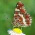 Mažasis dilgėlinukas - Araschnia levana    Fotografijos autorius : Gintautas Steiblys   © Macrogamta.lt   Šis tinklapis priklauso bendruomenei kuri domisi makro fotografija ir fotografuoja gyvąjį makro pasaulį.