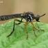 Plėšriamusė - Dioctria cf hyalipennis | Fotografijos autorius : Gintautas Steiblys | © Macrogamta.lt | Šis tinklapis priklauso bendruomenei kuri domisi makro fotografija ir fotografuoja gyvąjį makro pasaulį.