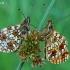 Pieviniai perlinukai - Boloria selene  | Fotografijos autorius : Gintautas Steiblys | © Macrogamta.lt | Šis tinklapis priklauso bendruomenei kuri domisi makro fotografija ir fotografuoja gyvąjį makro pasaulį.