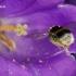 Kamanė - Bombus sp.  | Fotografijos autorius : Gintautas Steiblys | © Macrogamta.lt | Šis tinklapis priklauso bendruomenei kuri domisi makro fotografija ir fotografuoja gyvąjį makro pasaulį.