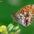 Gelsvasis perlinukas - Brenthis ino   Fotografijos autorius : Gintautas Steiblys   © Macrogamta.lt   Šis tinklapis priklauso bendruomenei kuri domisi makro fotografija ir fotografuoja gyvąjį makro pasaulį.