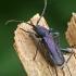 Violetinis žievėplėšis - Callidium violaceum  | Fotografijos autorius : Gintautas Steiblys | © Macrogamta.lt | Šis tinklapis priklauso bendruomenei kuri domisi makro fotografija ir fotografuoja gyvąjį makro pasaulį.