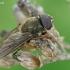 Žalutė - Cheilosia sp.  | Fotografijos autorius : Gintautas Steiblys | © Macrogamta.lt | Šis tinklapis priklauso bendruomenei kuri domisi makro fotografija ir fotografuoja gyvąjį makro pasaulį.