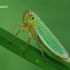 Žalioji cikadelė - Cicadella viridis  | Fotografijos autorius : Gintautas Steiblys | © Macrogamta.lt | Šis tinklapis priklauso bendruomenei kuri domisi makro fotografija ir fotografuoja gyvąjį makro pasaulį.