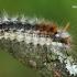 Lazdyninis miškinukas - Colocasia coryli, vikšras  | Fotografijos autorius : Gintautas Steiblys | © Macrogamta.lt | Šis tinklapis priklauso bendruomenei kuri domisi makro fotografija ir fotografuoja gyvąjį makro pasaulį.
