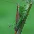 Pelkinis smailiagalvis - Conocephalus dorsalis | Fotografijos autorius : Gintautas Steiblys | © Macrogamta.lt | Šis tinklapis priklauso bendruomenei kuri domisi makro fotografija ir fotografuoja gyvąjį makro pasaulį.