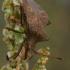 Arkliarūgštinė kampuotblakė - Coreus marginatus  | Fotografijos autorius : Gintautas Steiblys | © Macrogamta.lt | Šis tinklapis priklauso bendruomenei kuri domisi makro fotografija ir fotografuoja gyvąjį makro pasaulį.