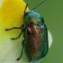 Žaliasis paslėptagalvis - Cryptocephalus sericeus | Fotografijos autorius : Gintautas Steiblys | © Macrogamta.lt | Šis tinklapis priklauso bendruomenei kuri domisi makro fotografija ir fotografuoja gyvąjį makro pasaulį.