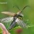 Šukaūsis pievaspragšis - Ctenicera pectinicornis  | Fotografijos autorius : Gintautas Steiblys | © Macrogamta.lt | Šis tinklapis priklauso bendruomenei kuri domisi makro fotografija ir fotografuoja gyvąjį makro pasaulį.