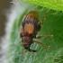 Šokliastraublis - Rhynchaenus xylostei (=lonicerae) | Fotografijos autorius : Gintautas Steiblys | © Macrogamta.lt | Šis tinklapis priklauso bendruomenei kuri domisi makro fotografija ir fotografuoja gyvąjį makro pasaulį.
