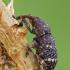 Taškuotasis smaliukas - Pissodes castaneus (=notatus) | Fotografijos autorius : Gintautas Steiblys | © Macrogamta.lt | Šis tinklapis priklauso bendruomenei kuri domisi makro fotografija ir fotografuoja gyvąjį makro pasaulį.