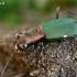 Vokiškasis šoklys - Cylindera germanica  | Fotografijos autorius : Gintautas Steiblys | © Macrogamta.lt | Šis tinklapis priklauso bendruomenei kuri domisi makro fotografija ir fotografuoja gyvąjį makro pasaulį.