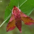 Mažasis sfinksas - Deilephila porcellus   Fotografijos autorius : Gintautas Steiblys   © Macrogamta.lt   Šis tinklapis priklauso bendruomenei kuri domisi makro fotografija ir fotografuoja gyvąjį makro pasaulį.