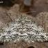 Mėlyninis žievėsprindis - Ectropis crepuscularia  | Fotografijos autorius : Gintautas Steiblys | © Macrogamta.lt | Šis tinklapis priklauso bendruomenei kuri domisi makro fotografija ir fotografuoja gyvąjį makro pasaulį.