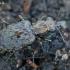 Mėlynpadis akiuotžygis - Elaphrus cupreus | Fotografijos autorius : Gintautas Steiblys | © Macrogamta.lt | Šis tinklapis priklauso bendruomenei kuri domisi makro fotografija ir fotografuoja gyvąjį makro pasaulį.