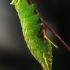Keršasparnis verpikas - Endromis versicolora, vikšras | Fotografijos autorius : Gintautas Steiblys | © Macrogamta.lt | Šis tinklapis priklauso bendruomenei kuri domisi makro fotografija ir fotografuoja gyvąjį makro pasaulį.