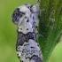 Beržinis dviuodegis - Furcula bicuspis | Fotografijos autorius : Gintautas Steiblys | © Macrogamta.lt | Šis tinklapis priklauso bendruomenei kuri domisi makro fotografija ir fotografuoja gyvąjį makro pasaulį.