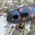 Žvilgvabalis - Glischrochilus hortensis   Fotografijos autorius : Gintautas Steiblys   © Macrogamta.lt   Šis tinklapis priklauso bendruomenei kuri domisi makro fotografija ir fotografuoja gyvąjį makro pasaulį.