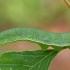 Citrinukas - Gonepteryx rhamni, vikšras | Fotografijos autorius : Gintautas Steiblys | © Macrogamta.lt | Šis tinklapis priklauso bendruomenei kuri domisi makro fotografija ir fotografuoja gyvąjį makro pasaulį.