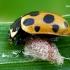 Dilgėlinė boružė - Hippodamia notata (parazituota) | Fotografijos autorius : Gintautas Steiblys | © Macrogamta.lt | Šis tinklapis priklauso bendruomenei kuri domisi makro fotografija ir fotografuoja gyvąjį makro pasaulį.