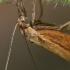 Žolinis ugniukas - Crambidae  | Fotografijos autorius : Gintautas Steiblys | © Macrogamta.lt | Šis tinklapis priklauso bendruomenei kuri domisi makro fotografija ir fotografuoja gyvąjį makro pasaulį.