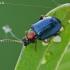 Auksiškoji puošniaspragė - Crepidodera aurata | Fotografijos autorius : Gintautas Steiblys | © Macrogamta.lt | Šis tinklapis priklauso bendruomenei kuri domisi makro fotografija ir fotografuoja gyvąjį makro pasaulį.